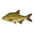 Common bream, freshwater, bronze carp breamfish
