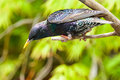Common british starling a a garden visitor and a bird that looks oily looking for food Royalty Free Stock Images