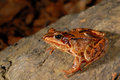 Common brown frog rana temporaria in montseny gerona spain a hide Stock Images