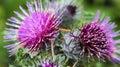 The common burdock two purple wildflowers have needle like petals arctium minus or Royalty Free Stock Photos
