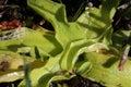 Common butterwort Royalty Free Stock Photo