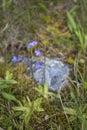 Common Butterwort or Pinguicula vulgaris Royalty Free Stock Photo