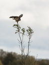 Common Buzzard Stock Photography