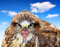 Common buzzard buteo buteo with blue sky Royalty Free Stock Photo