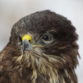 Common buzzard buteo buteo close up of a Royalty Free Stock Photo
