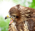Common buzzard buteo buteo on green background Royalty Free Stock Images