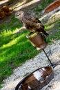 Common buzzard buteo buteo on a perch Royalty Free Stock Photos