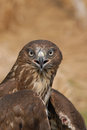 Common buzzard buteo buteo portrait of a Royalty Free Stock Images