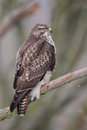 Common buzzard buteo buteo sitting on a branch in winter Royalty Free Stock Photography
