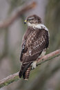 Common buzzard buteo buteo sitting on a branch in winter Stock Photos