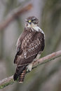Common buzzard buteo buteo sitting on a branch in winter Royalty Free Stock Images