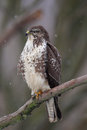 Common buzzard buteo buteo sitting on a branch in winter Stock Photo