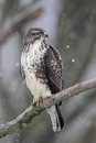 Common buzzard buteo buteo sitting on a branch in winter Royalty Free Stock Photos
