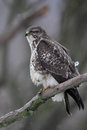 Common buzzard buteo buteo sitting on a branch in winter Stock Photography