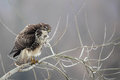 Common buzzard buteo buteo sitting on a branch in winter Stock Image
