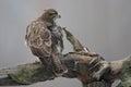 Common buzzard buteo buteo sitting on a branch in winter Stock Photo