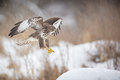 Common buzzard flight to land Royalty Free Stock Image