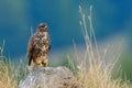 Common buzzard outdoor buteo buteo in natural habitat Royalty Free Stock Image