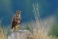 Common buzzard outdoor buteo buteo in natural habitat Stock Image
