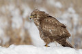 Common buzzard pausing whilst feeding standing snowy mound Stock Images