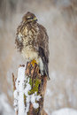 Common buzzard sitting n old mossy snow covered tree stump Royalty Free Stock Photo