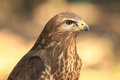 Common buzzard the upper body of adult commoon Royalty Free Stock Photo