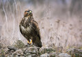 Common Buzzard In Wildlife Royalty Free Stock Images