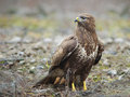 Common buzzard in wildlife the buteo buteo is a medium to large bird of prey whose range covers most of europe and extends into Royalty Free Stock Photo