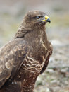 Common buzzard in wildlife the buteo buteo is a medium to large bird of prey whose range covers most of europe and extends into Stock Images