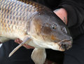 Common carp close up of head of Stock Photos