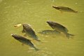 Common carp gaping at surface Stock Photo