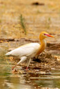 Common cattle egret Royalty Free Stock Photo