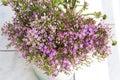 Common Centaury ( Centaurium Erythraea ) Flowers Royalty Free Stock Photo
