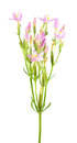 Common centaury or Centaurium erythraea isolated on white background. Plant with small pink flowers Royalty Free Stock Photo