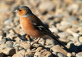 Common chaffinch Royalty Free Stock Photos