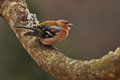 The common chaffinch fringilla coelebs male sitting on a branch and singing Royalty Free Stock Images