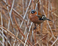 The common chaffinch fringilla coelebs male sitting on a thin branch Royalty Free Stock Photography
