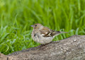 Common chaffinch fringilla coelebs on a tree branch Stock Image