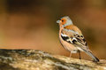 Common chaffinch fringilla coelebs on a tree stump Royalty Free Stock Photos