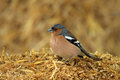 The Common Chaffinch Royalty Free Stock Photo
