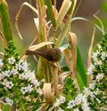 Common chiffchaff on cane stalks  and echium flowers Royalty Free Stock Photo