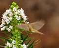 Common chiffchaff in static flight on cluster of echium flowers eating inside small wildflowers decaisnei gran canaria canary Royalty Free Stock Image