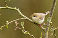 A Common Chiffchaff or Willow Warbler Royalty Free Stock Images