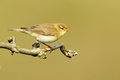 A Common Chiffchaff or Willow Warbler Royalty Free Stock Photography
