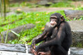 Common chimpanzee a pan troglodytes Stock Photo
