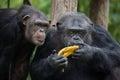 Common chimpanzee Pan troglodytes Royalty Free Stock Photo