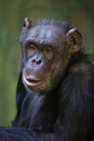 Common chimpanzee (Pan troglodytes). Royalty Free Stock Photo