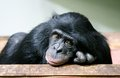 Common chimpanzee (Pan troglodytes) Royalty Free Stock Photo