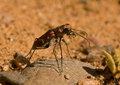 Common Claybank Tiger Beetle Royalty Free Stock Photo