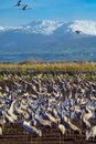 Common Crane birds in Agamon Hula bird refuge, with Mount Hermon Royalty Free Stock Photo